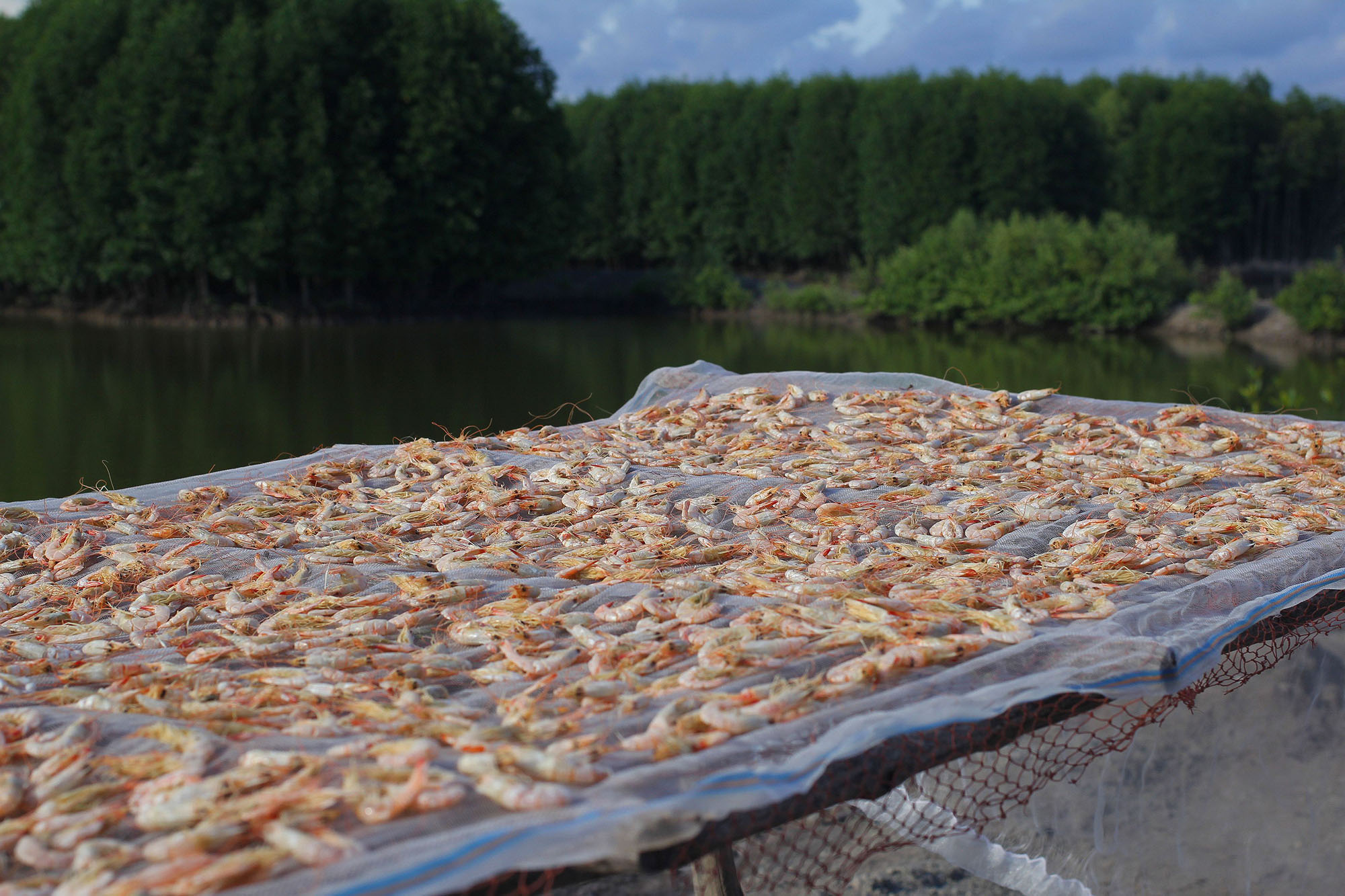 Sustainable Shrimp Farming in Vietnam's Mangrove Forests